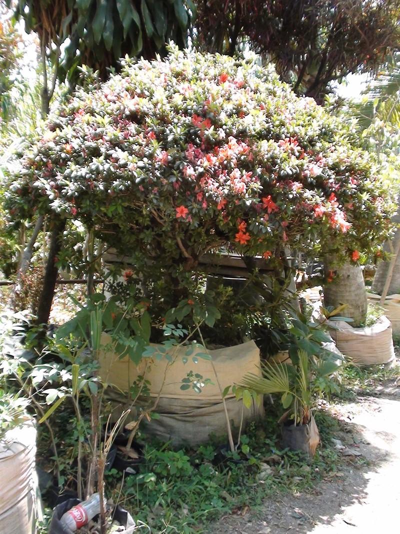Plantas ex ticas vivero la palapa for Vivero plantas exoticas